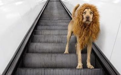 lion-dog-photos